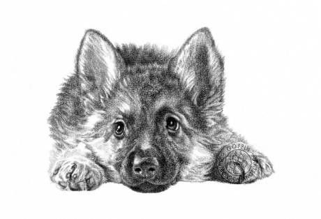 Pin coloriage chien berger allemand dessin on pinterest - Coloriage berger allemand ...
